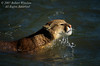 Mountain Lion, Felis concolor, Swimming, controlled conditions