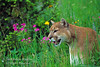 Mountain Lion in a Field of Wildflowers, (Felis concolor), controlled conditions