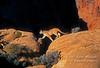 Mountain Lion (Felis concolor), controlled conditions