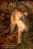 Mountain Lion, Felis concolor, Autumn Foliage, controlled conditions