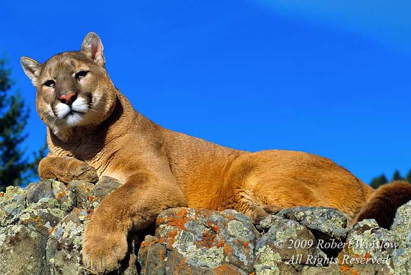 Mountain Lion (Felis concolor), Lying on a Rock Ledge, controlled conditions
