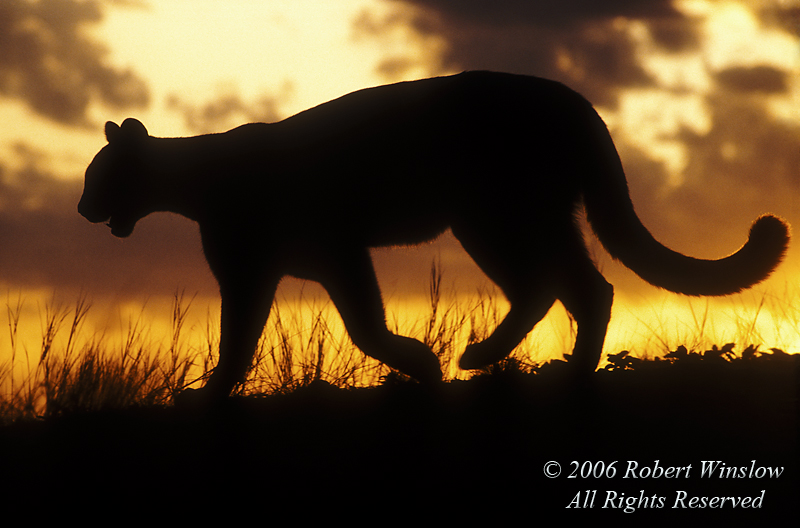 Mountain Lion, Felis concolor, Silhouette at Sunrise, controlled conditions