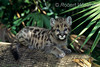 Florida Mountain Lion Kitten, controlled conditions