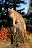 Mountain Lion (Felis concolor) On a Stump, Autumn, controlled conditions