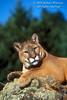 Mountain Lion, Felis concolor, controlled conditions