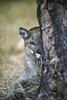 Mountain Lion, Felis concolor, Looking out from behind a tree, controlled conditions