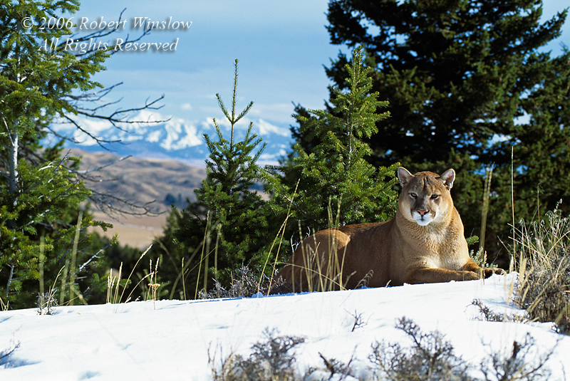Mountain Lion, Felis concolor, Winter, controlled conditions