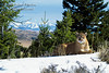 Mountain Lion, Felis concolor, Winter, controlled conditions