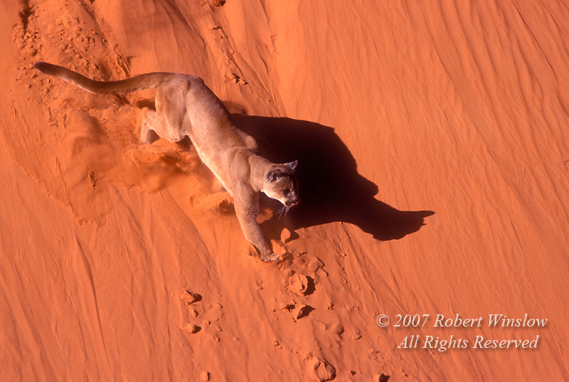 Mountain Lion (Felis concolor) Running Down Sand Dunes, Monument Valley, Arizona, controlled conditions