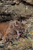 Mountain Lion,  Mother licking Baby,  Felis concolor, controlled conditions