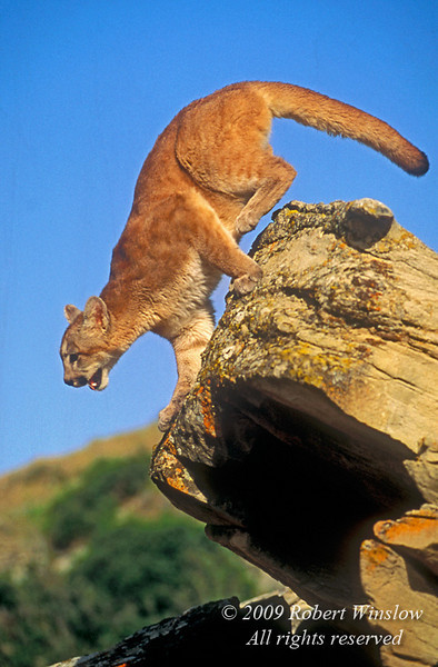 Mountain Lion, Felis concolor, jumping off of a rock, controlled conditions