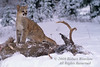 Mountain Lion Kitten, Felis concolor, On Mule Deer Buck Carcass, Winter, Snow, controlled conditions