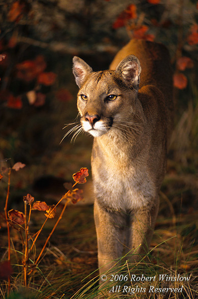 Female Mountain Lion (Felis concolor), Autumn, controlled conditions
