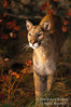 Female Mountain Lion (Felis concolor), Autumn, controlled conditions