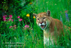 Mountain Lion in a Field of Wildflowers, Felis concolor, controlled conditions