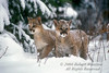 Two Mountain Lion Kittens in Snow, Felis concolor, controlled conditions