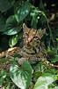 Ocelot, Leopardus pardalis, controlled conditions