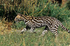 Ocelot, Leopardus pardalis, controlled conditions