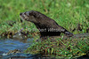 North American river otter, Lontra canadensis, Montana, USA, North America, Controlled Conditions