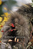 Young North American Porcupine, Erethizon dorsatum, Controlled Conditions