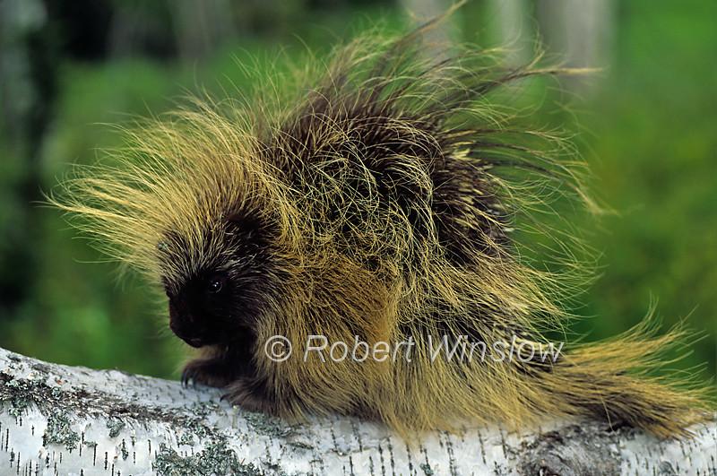 North American Porcupine, Erethizon dorsatum, Controlled Conditions
