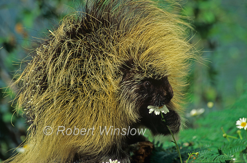 North American Porcupine, Erethizon dorsatum, Controlled Conditions