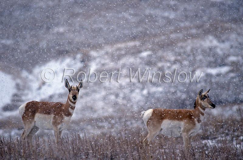 Two Female Pronghorn, Antilocapra americana, Snow, Winter, National Bison Range, Montana, USA, North America, order Artiodactyla
