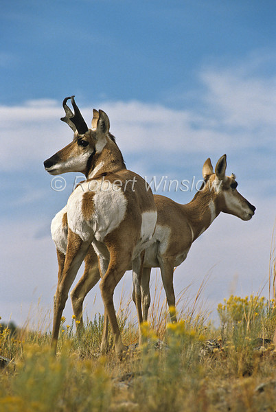 Male and Female Pronghorn, Antilocapra americana, Yellowstone National Park, Montana, USA, North America, order Artiodactyla