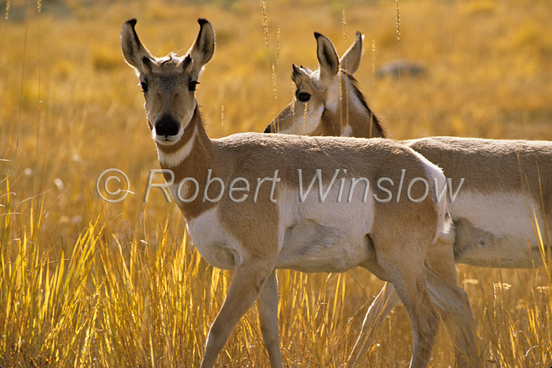 Two Female Pronghorn, Antilocapra americana, Yellowstone National Park, Montana, USA, North America, order Artiodactyla