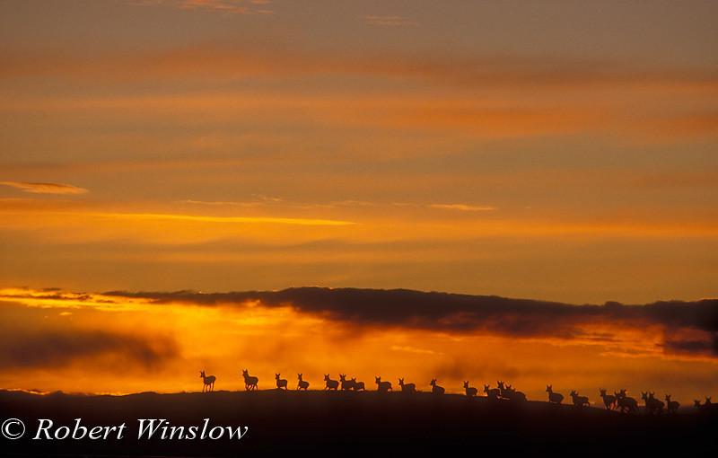 Herd of Pronghorn, Antilocarpa americana, at Sunset near Pinedale, Wyoming