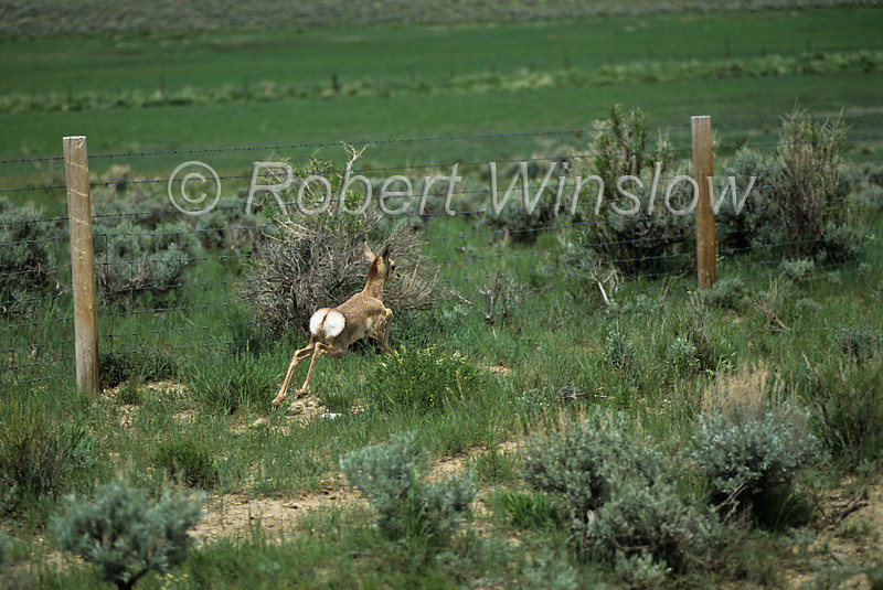 Young Pronghorn, Antilocapra americana, Flashing White Hairs, Running along a fence line that it cannot get over or under, BLM land, Wyoming, USA, North America, order Artiodactyla