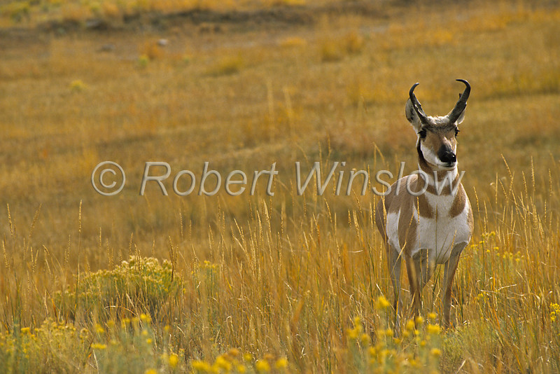 Male Pronghorn, Antilocapra americana, Yellowstone National Park, Montana, USA, North America, order Artiodactyla