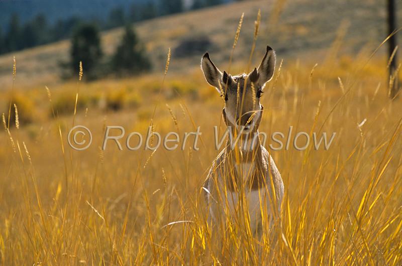 Female Pronghorn, Antilocapra americana, Yellowstone National Park, Montana, USA, North America, order Artiodactyla