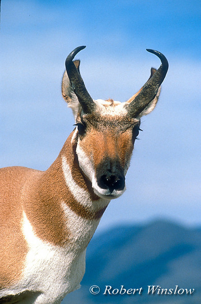 Male Pronghorn, Antilocapra americana, Yellowstone National Park, Montana, USA, North America, order Artiodactyla