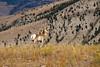Young Pronghorn, Antilocapra americana, Running, Flashing White Hairs, Yellowstone National Park, Montana, USA, North America, order Artiodactyla