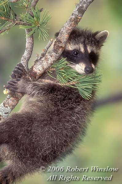 Young Raccoon (Procyon lotor) Hanging from a Tree Limb, Controlled Conditions
