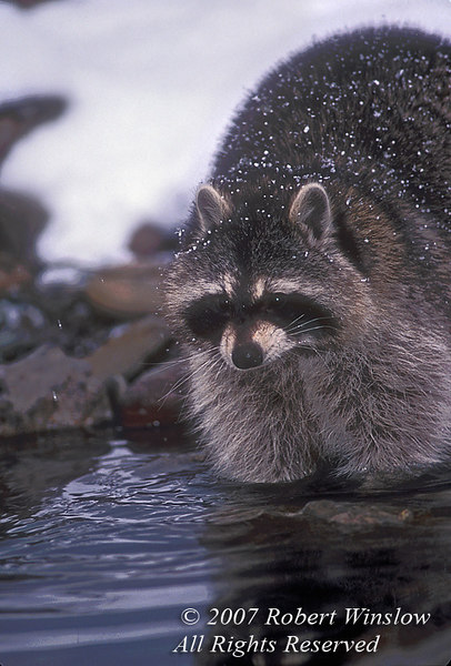 Raccoon, Procyon lotor, at Water's Edge, Winter, United State, North America, controlled conditions