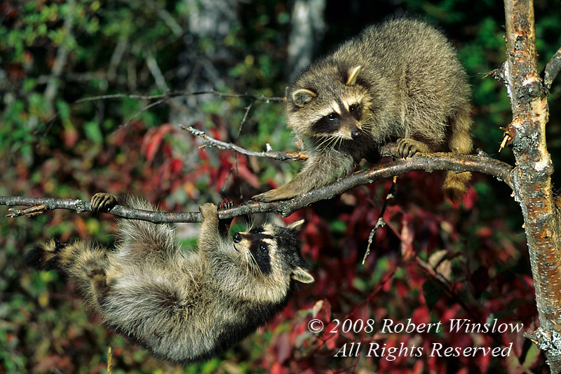 Two Raccoons, Procyon lotor, In a Tree, One Hanging Upside Down, Autumn, United States, North America, Controlled Conditions