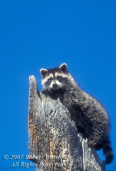 Baby Raccoon, Procyon lotor, on a tree stump,  United States, North America