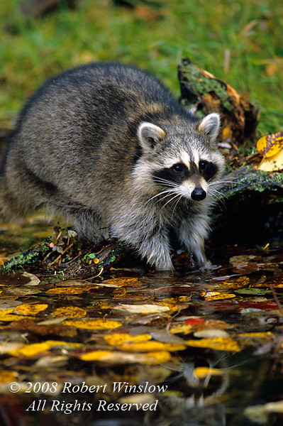 Raccoon, Procyon lotor, Autumn, United States, North America, Controlled Conditions