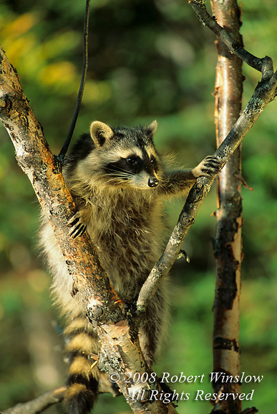 Raccoon, Procyon lotor, In a Tree, Autumn, United States, North America, Controlled Conditions