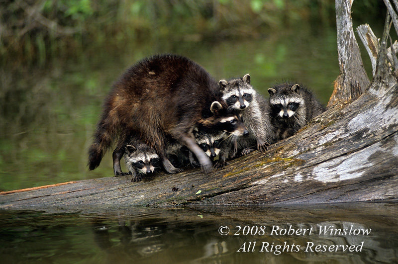 Mother with Baby Raccoons, Procyon lotor, at Water's Edge, summer, United States, North America, controlled conditions