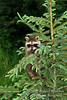 Baby Raccoon, Procyon lotor, In a Tree,  United States, North America, Controlled Conditions