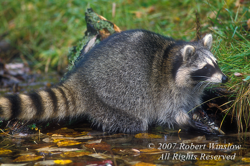 Raccoon, Procyon lotor, at Water's Edge, With Crayfish in its Hands, Autumn, United States, North America, controlled conditions