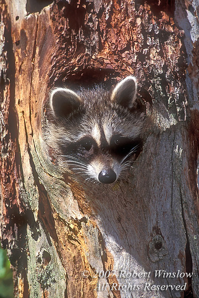 Young Raccoon, Procyon lotor, Looking out from hole in Tree, Autumn, United States, North America, controlled conditoins