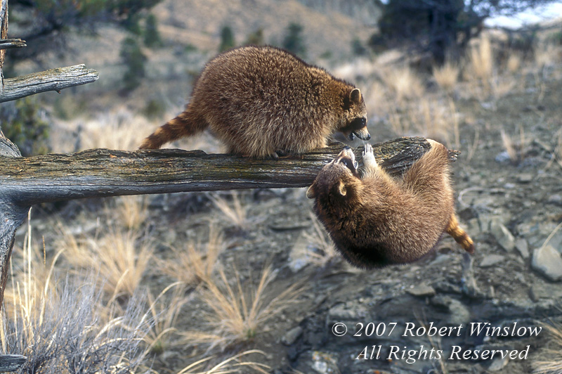 Two Raccoons, Procyon lotor, out on a limb, controlled conditions, United States, North America