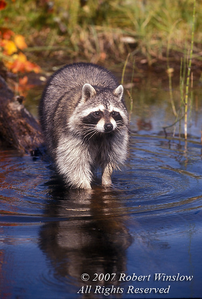 Raccoon, Procyon lotor, at Water's Edge, Autumn, United States, North America, controlled condtions