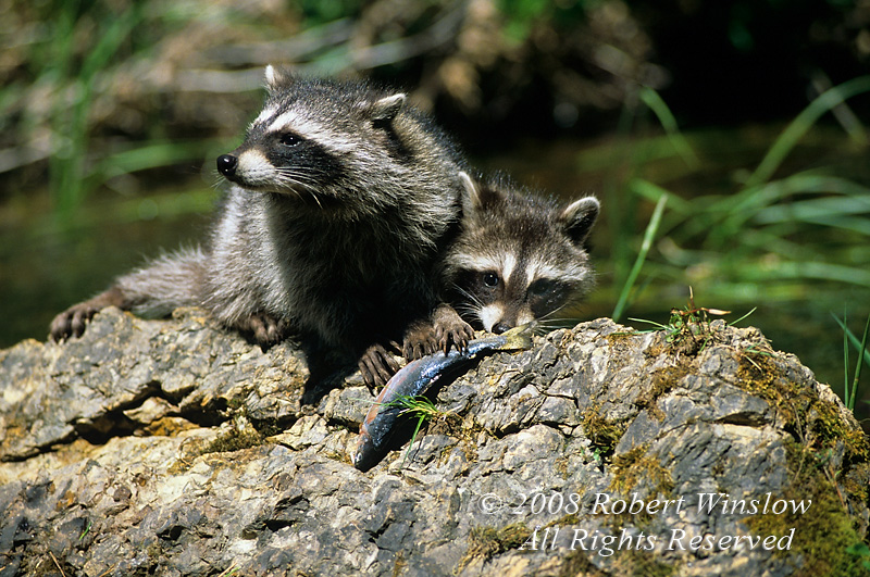 Two Raccoons, Procyon lotor, with a fish, United States, North America, Controlled Conditions