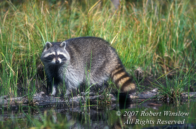 Raccoon, Procyon lotor, at Water's Edge, United States, North America, controlled conditions