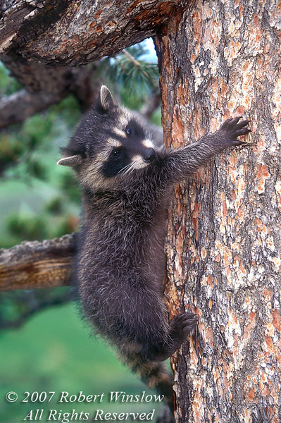 Baby Raccoon, Procyon lotor, Climbing a Tree, Autumn, United States, North America, controlled conditions